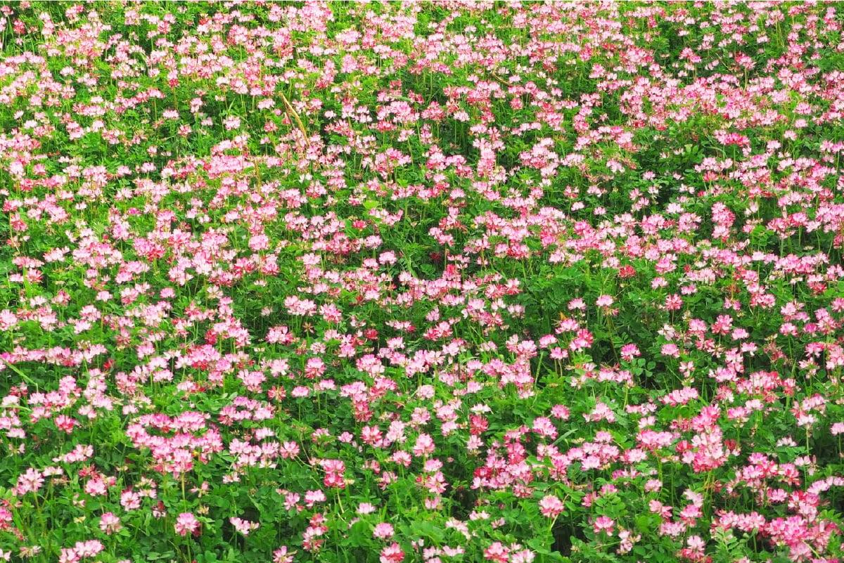 画像:れんげの花